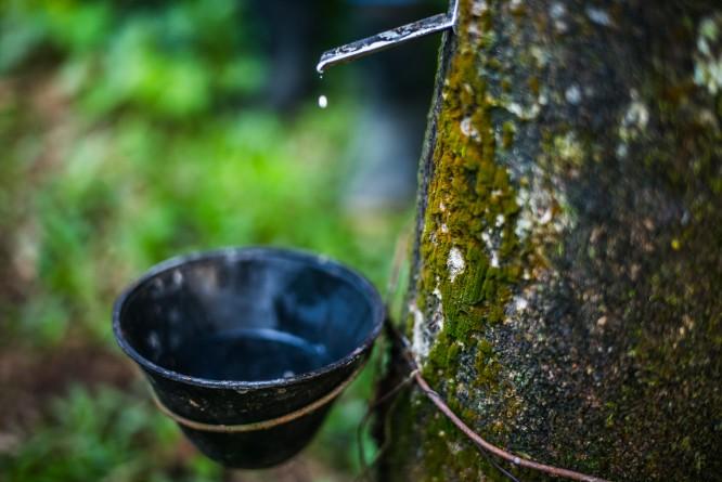 1 Rubber Tree  Copyright Patagonia